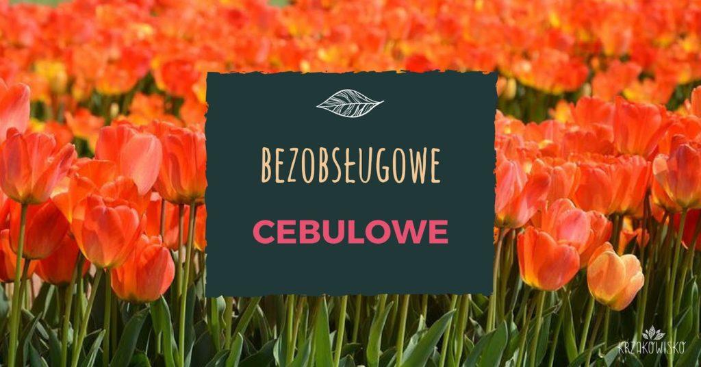 Bezobsługowe cebulowe, tulipany