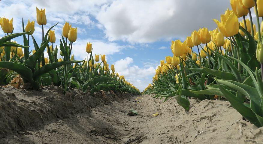 Bezobsługowe cebulowe, tulipany żółte