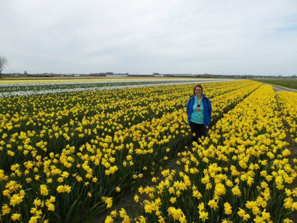 Dobry plan - krajobraz Holandii, pola żonkili