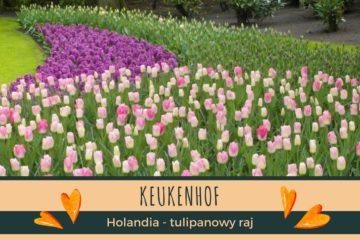 Keukenhof Holandia - tulipanowy raj