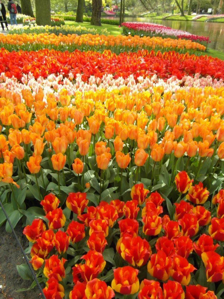 Keukenhof, Holandia - tulipany