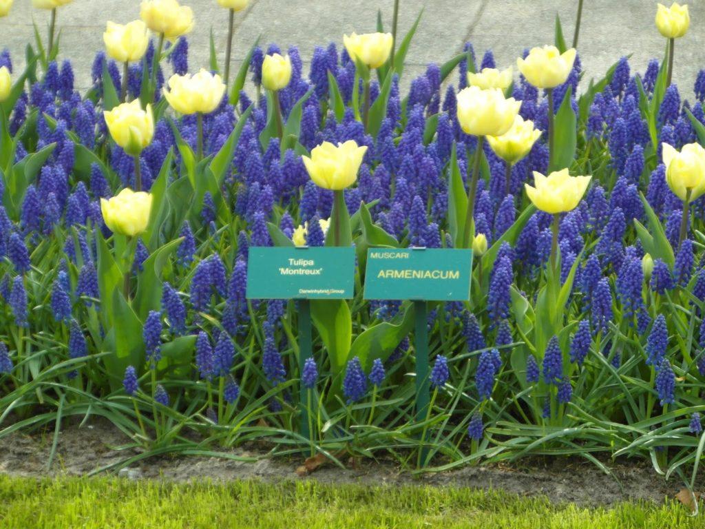 Keukenhof, Holandia - tulipanowy raj - atrakcyjne zestawienia