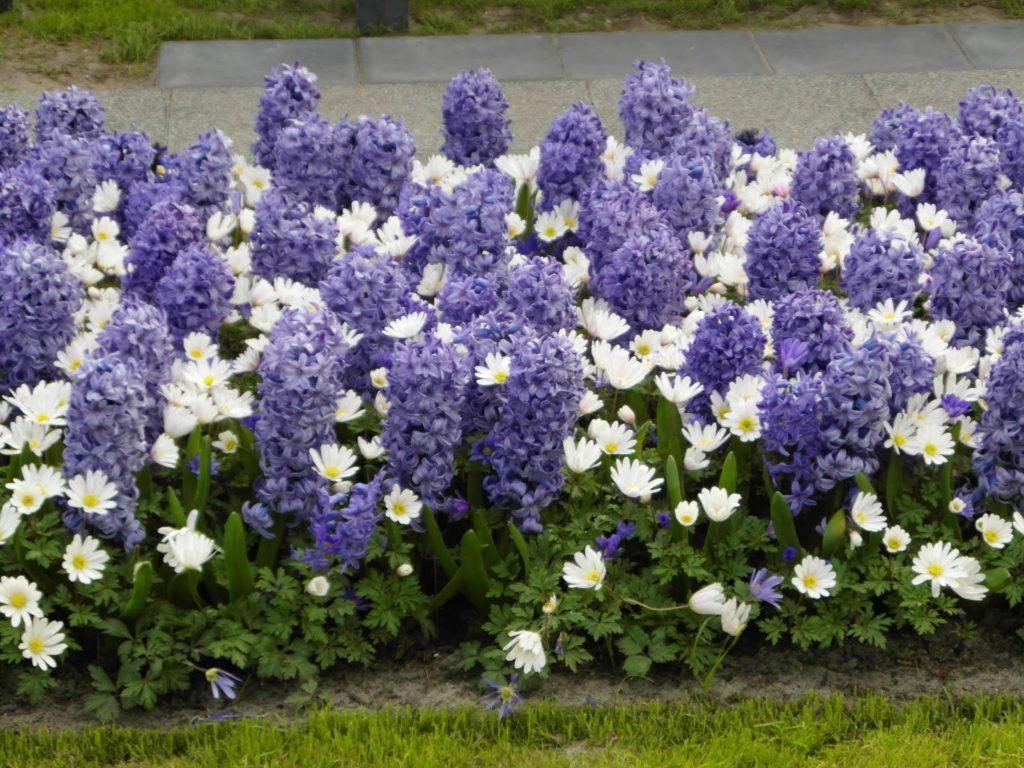 Keukenhof, Holandia - tulipanowy raj, hiacynty