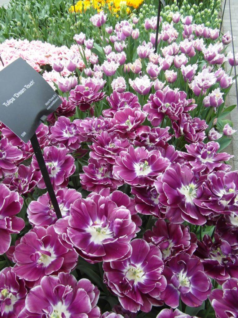 Keukenhof, Holandia - tulipanowy raj, nowe odmiany