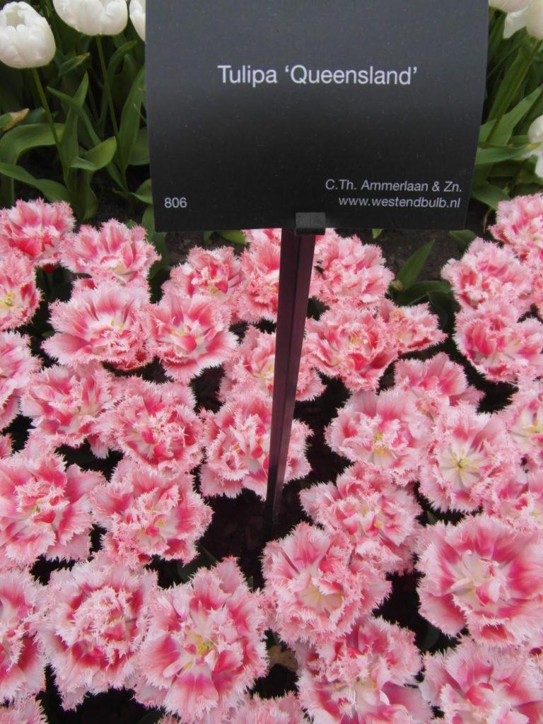 Keukenhof, Holandia - tulipany nowe