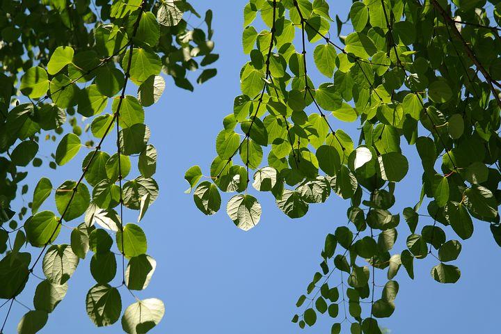 niezawodne drzewa grujecznik japoński