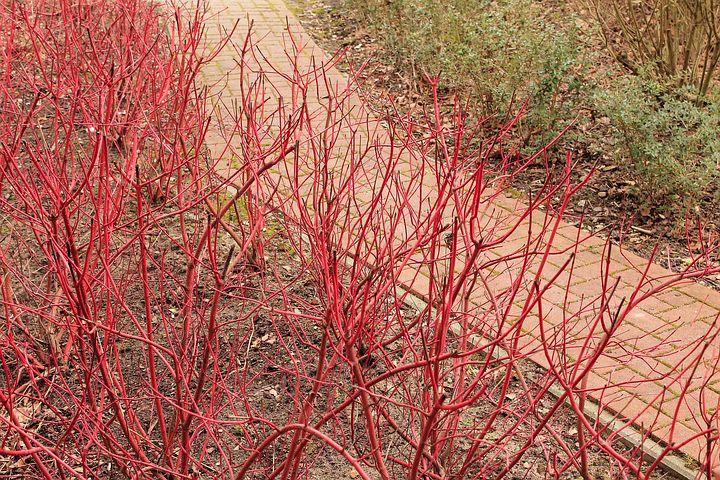 Wczesnowiosenna rabata poddereniem - czerwone pędy zimą
