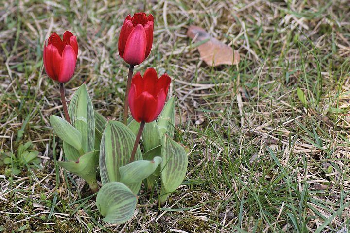 Bezobsługowe cebulowe, tulipany botaniczne