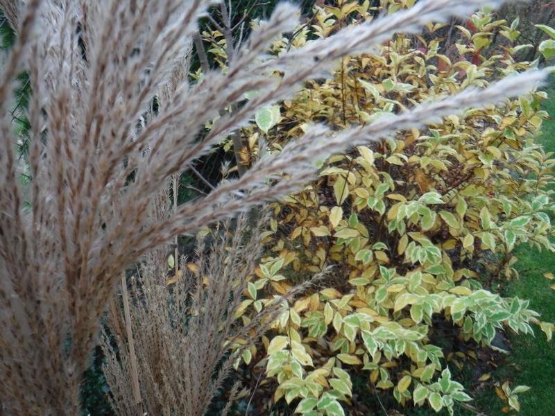 krzewuszka-w-listopadzie-kolorowe-liscie