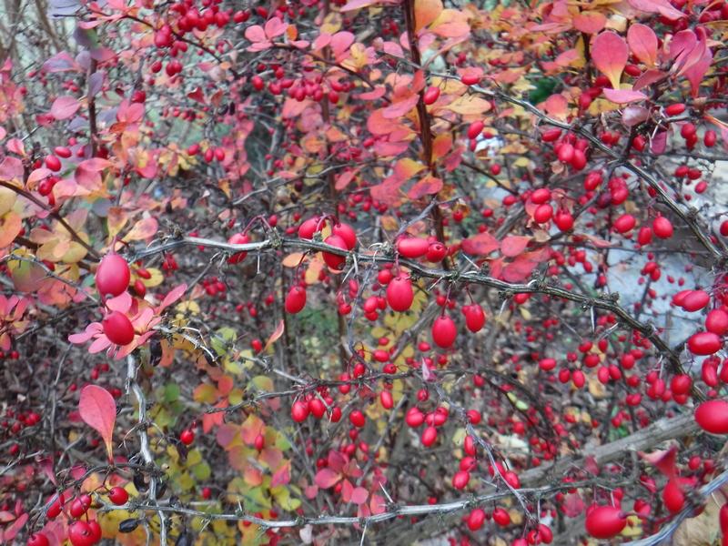 berberys-w-listopadzie-kolorowe-liscie