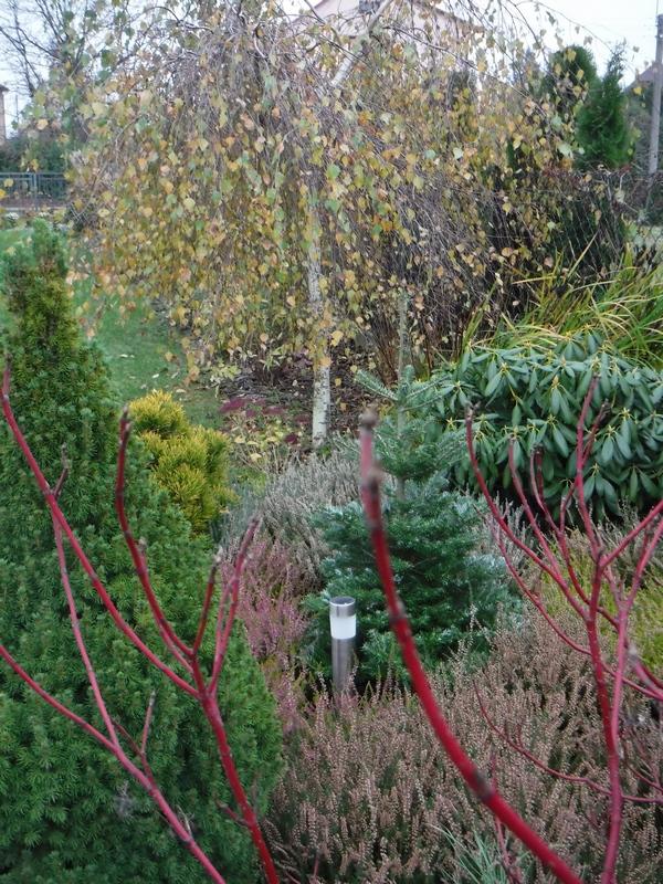 brzoza-w-listopadzie-kolorowe-liscie