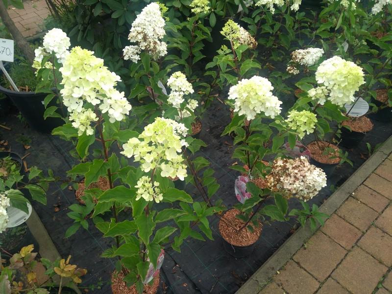 hortensje-w-centrum-ogrodniczym